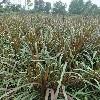 成都水生植物公司,哪里能买到划算的四川水生植物