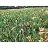 售卖水生植物苗-成都诗画园林有限公司出售划算的水生植物苗