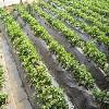 山東草莓專用膜【魯冠】草莓專用膜生產廠家/草莓專用膜制造商