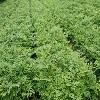 刺嫩芽苗厂家-销量好的刺嫩芽苗出售