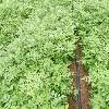 通化刺老芽厂家-供应辽宁有品质的刺老芽