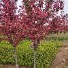 紅寶石海棠-優良當選景森綠化苗木,紅寶石海棠